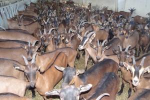 Northeastern Bulgaria goat farm Apolo
