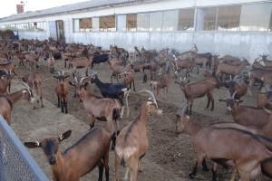 Goat farm Apolo in Northeastern Bulgaria
